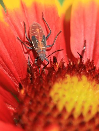 What bug is this? - Boisea rubrolineata