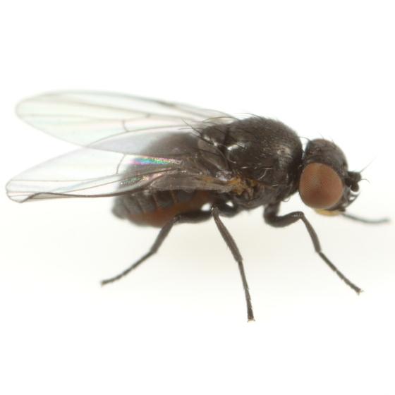 Ophiomyia euthamiae - male