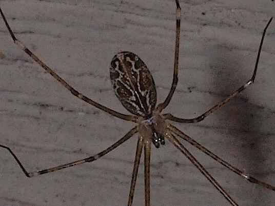 Cellar Spider? - Holocnemus pluchei - female