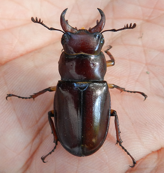 Stag Beetle - Lucanus capreolus - male
