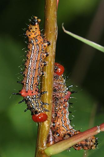 Red-humped Caterpillar? - Schizura concinna