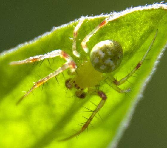 Male Araneus is? - Araneus cingulatus - male