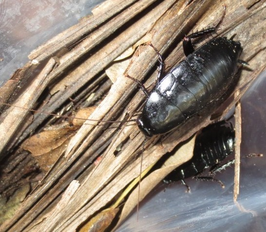 Eurycotis lixa - male - female
