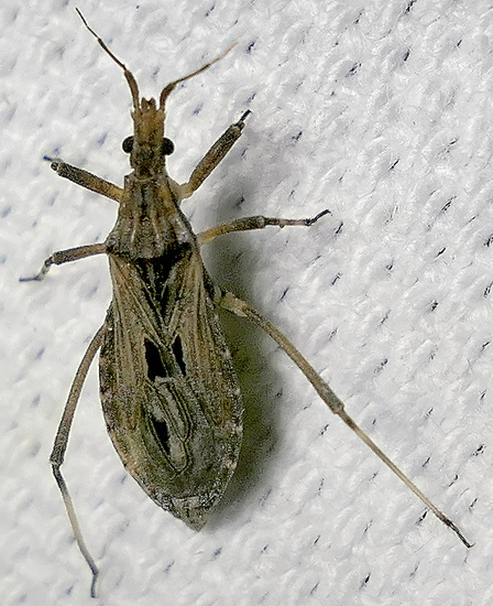 assassin bug - Diaditus