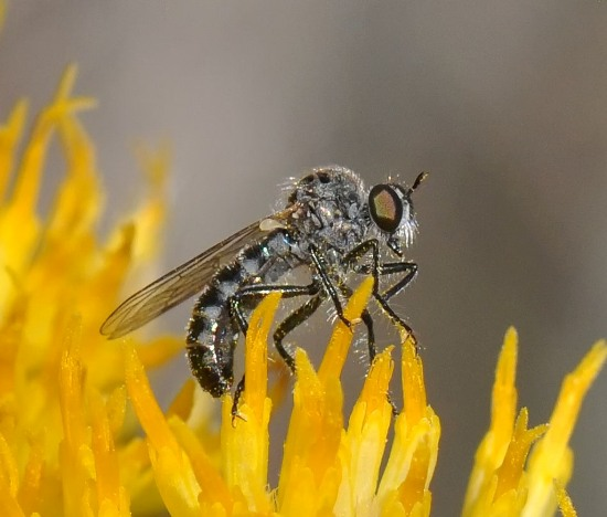 Very small robber fly - Sintoria cyanea - female