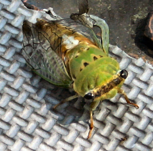 Docile Beetle, Very Colorful - Neotibicen superbus