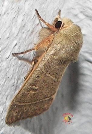 Sheathed Quaker Moth - Ulolonche culea