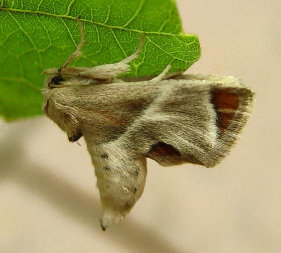 Shagreened Slug Moth, lateral - Apoda biguttata