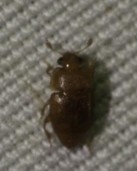 small beetle - Epuraea luteola