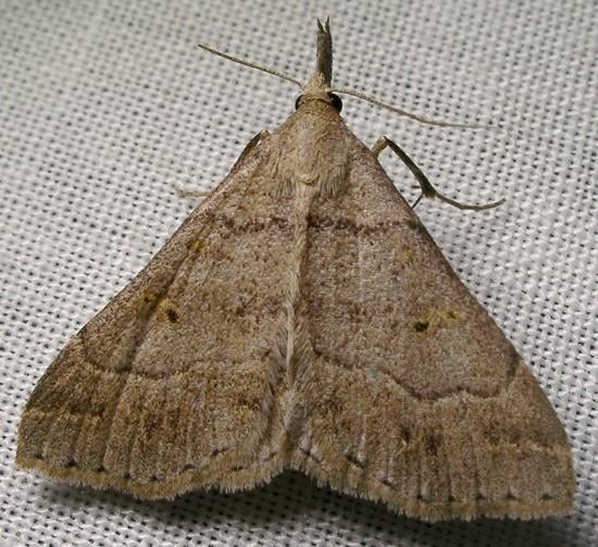 moth - Renia flavipunctalis