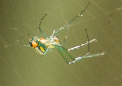 Green and Orange Spider - Leucauge venusta