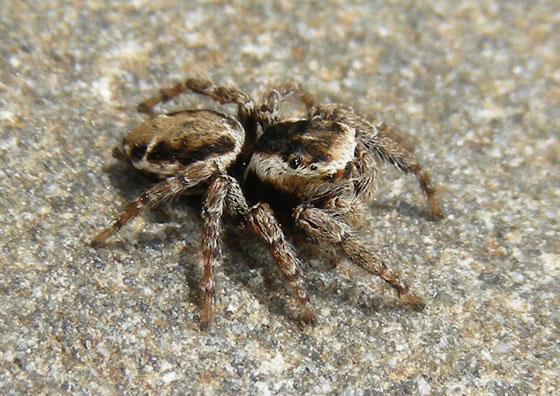 Jumping Spider brown and cream - Evarcha proszynskii