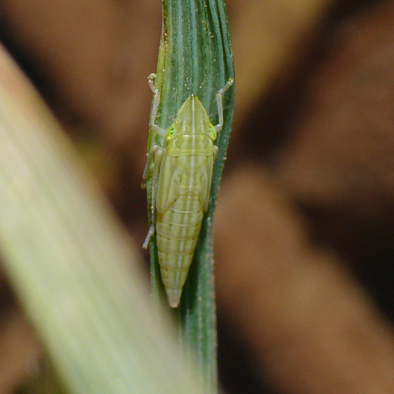 Leafhopper nymph - Draeculacephala