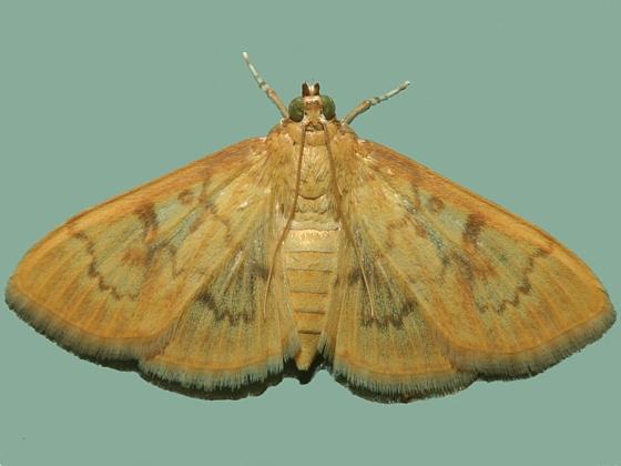 Newly emerged adult - Psara dryalis