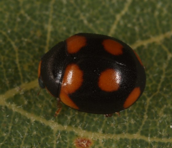 ladybug - Brachiacantha arizonica