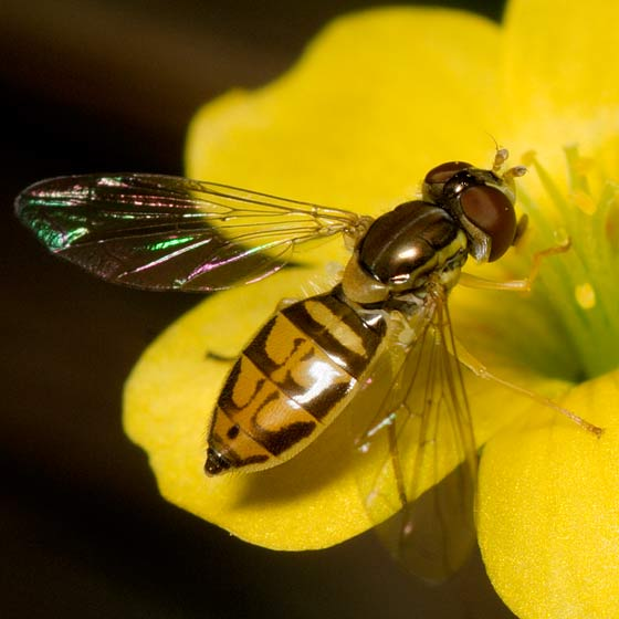 Flower Fly - Toxomerus marginatus