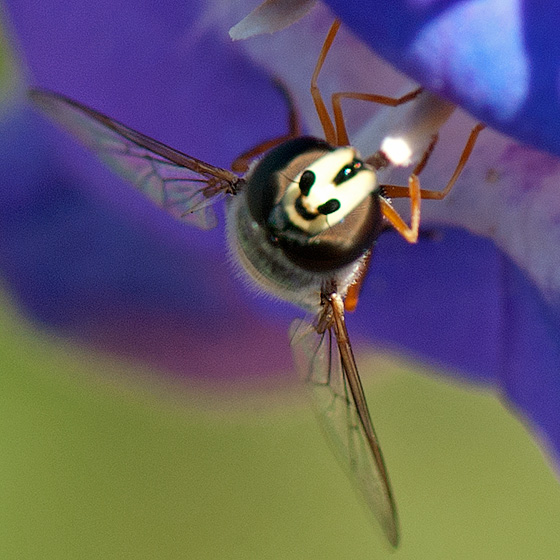 Eupeodes? - Eupeodes volucris - female