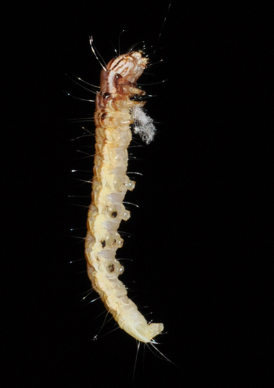 Larva of? - Antaeotricha