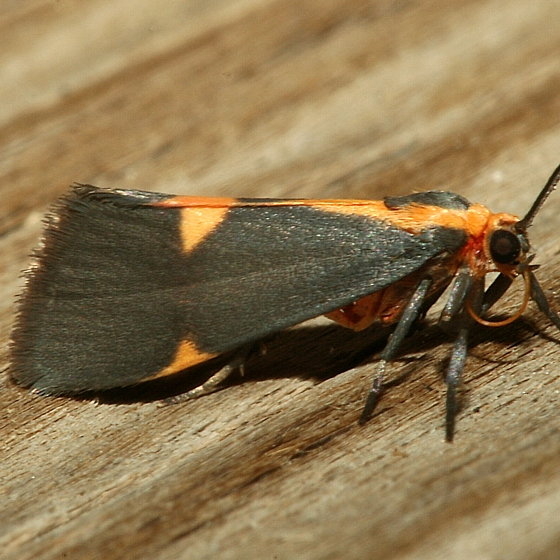 Moth - Cisthene tenuifascia