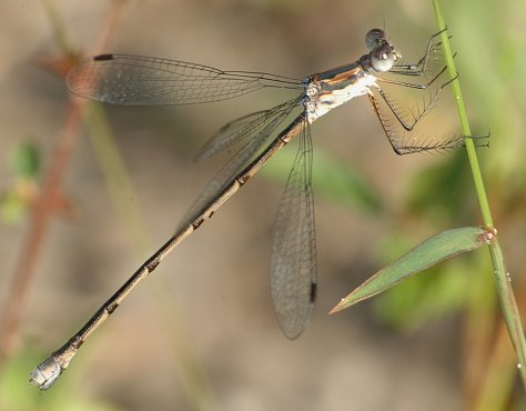 Carolina Spreadwing - Lestes vidua - female