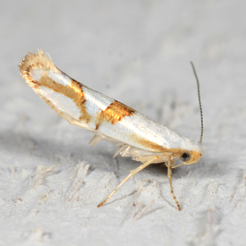Cherry Shoot Borer - Argyresthia oreasella