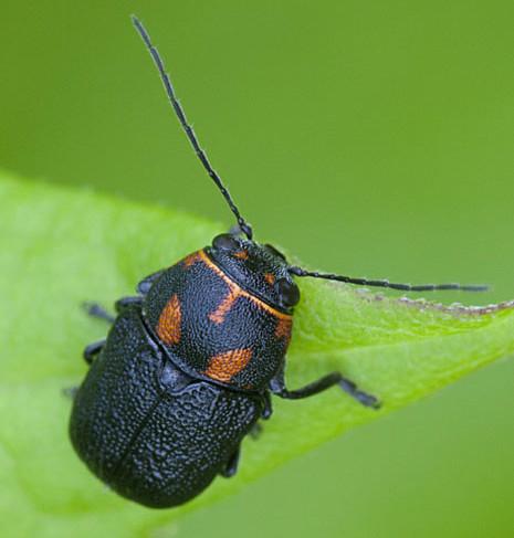 Beetle on goldenrod leaf - Pachybrachis trinotatus