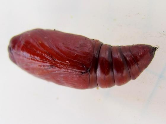 pupa - August 5 - Mythimna unipuncta