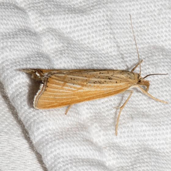 Pediasia dorsipunctellus