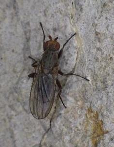 Cave-dwelling fly - Amoebaleria defessa