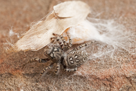 female Phidippus mystaceus with egg sack. - Phidippus mystaceus - female