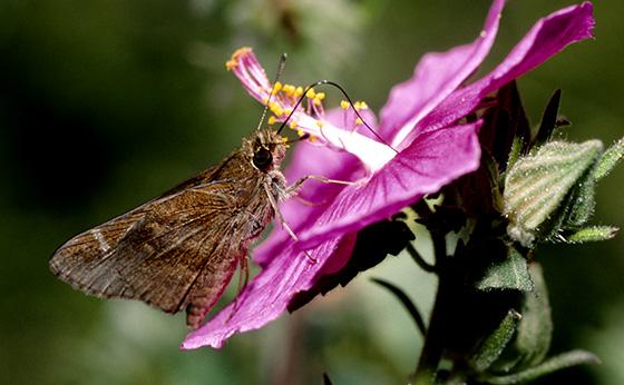 Bentsen-Rio Grande Valley State Park - Cymaenes trebius