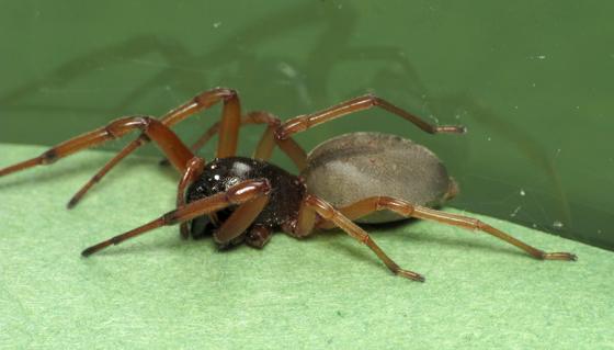 Another Trachelas - Trachelas tranquillus - female