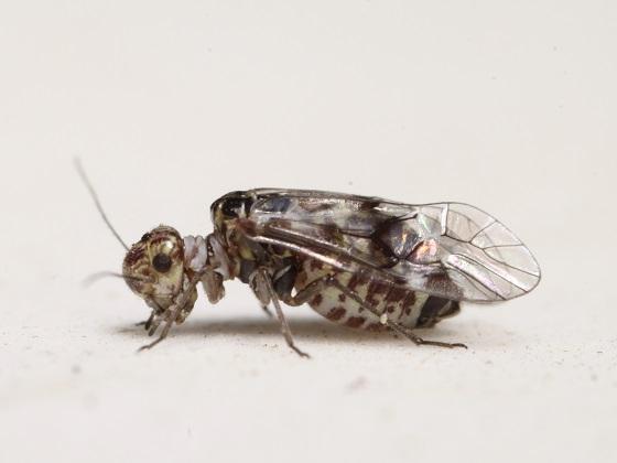 Indiopsocus bisignatus - female