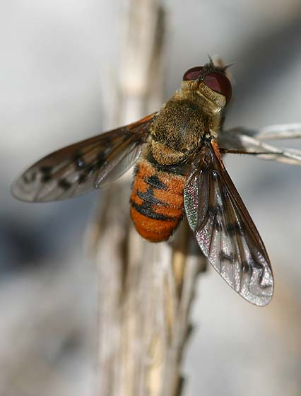 Bee Fly - Poecilanthrax sp? - Neodiplocampta miranda