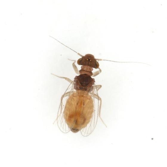 Rhyopsocus eclipticus  - Rhyopsocus eclipticus - female