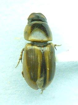 Aphodius - Aphodius pseudolividus - female