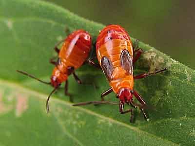 Orange insect - Oncopeltus cayensis