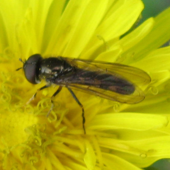 Syrphidae  02a - Platycheirus - male