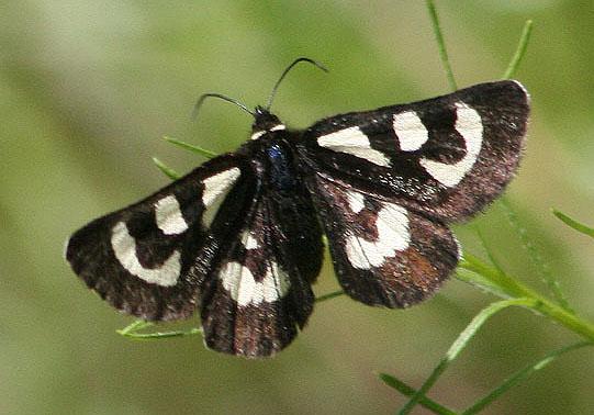 Alpyia - Alypia mariposa