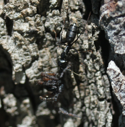 unknown large ant with yellowish banded abdomen dragging unknown spider up a tree - Camponotus pennsylvanicus
