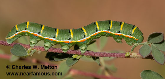 Southern Dogface larva - Zerene cesonia