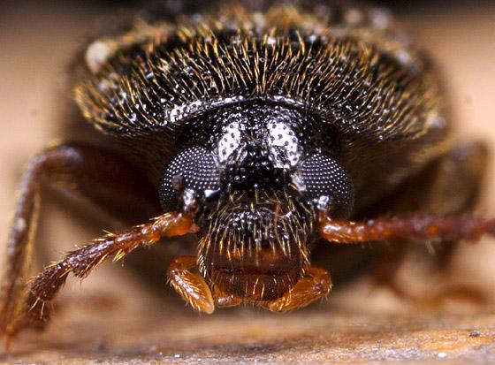 Beetle ID - Hymenorus