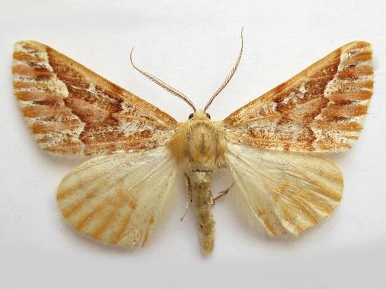 Red Girdle Moth - Caripeta aequaliaria - male