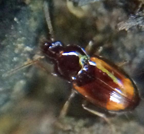 Very small beetle - Elaphropus