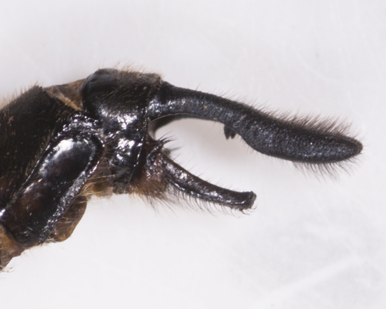 Spiny Baskettail, lateral closeup of claspers - Epitheca spinigera - male