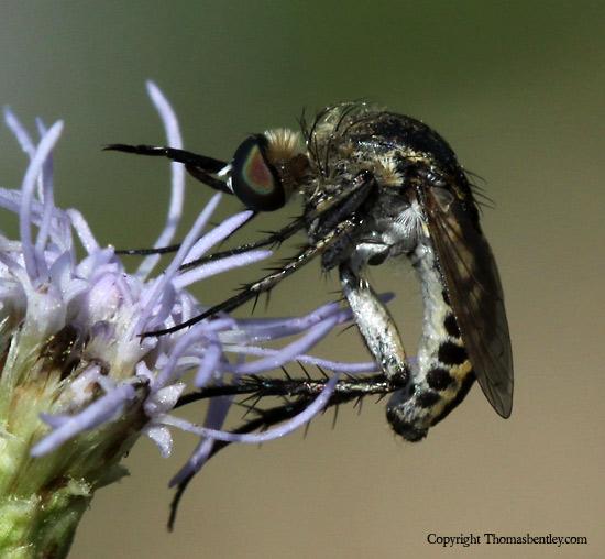 Bee Fly - Toxophora virgata