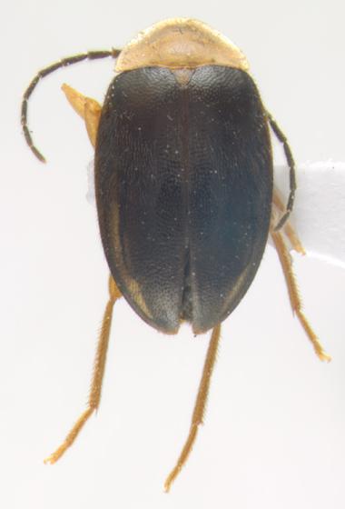 Scirtidae, dorsal - Sacodes pulchella