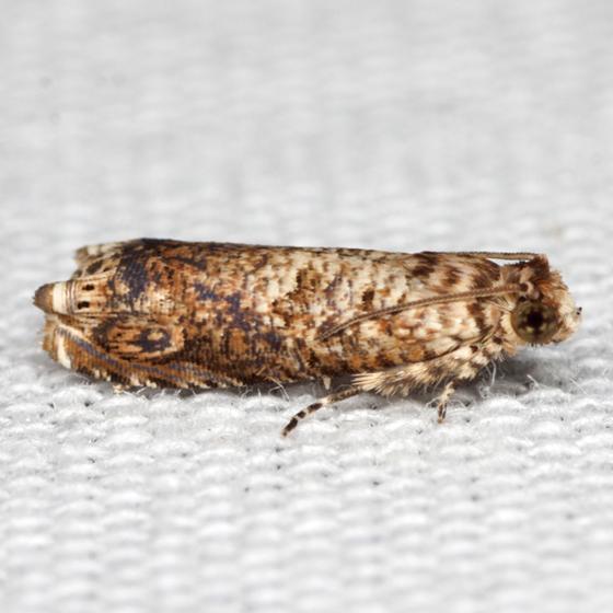 Sumac Leaftier Moth  - Hodges #2701 - Episimus argutanus