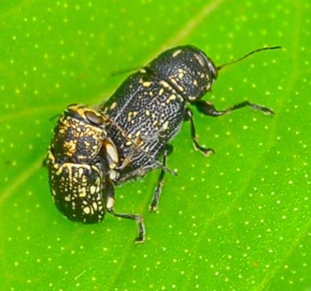 Pachybrachis atomarius - Pachybrachis - male - female