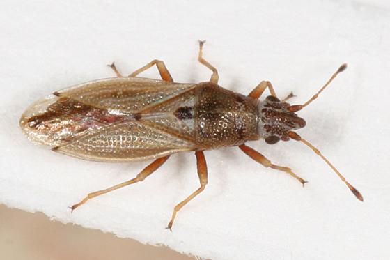 true bug - Cymus angustatus